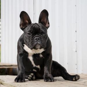 Ranskanbulldoggi Ruusu