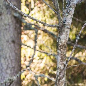 Trädstammar i skogen