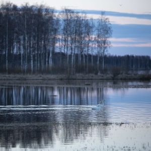Laulujoutsenia Ullavanjärvellä.