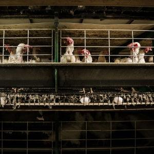 Kanoja somerolaisessa virikehäkkikanalassa. Valaistus on hämärä, kanat ovat vihreissä häkeissä.