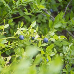Närbild på blåbär i Svartså
