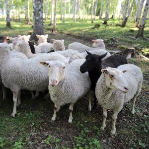Lammaskatras laitumella