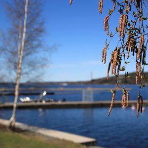 Björkhängen vid småbåtshamn om våren.