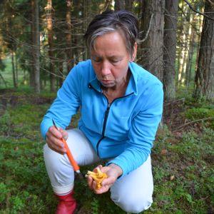 Solveig Backström böjer sig ner och putsar några kantareller.