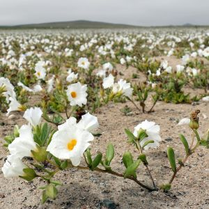 Blommor i Atacamaöknen 2017.