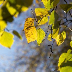 Puun kellastuneita lehtiä syksyllä.