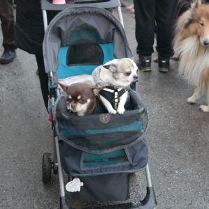 Två små hundar åker barnvagn