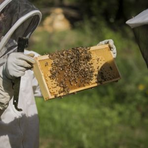 Mehiläistarhaaja Tanja Oreto näyttää mehiläiskennoa