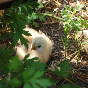 Kyckling.