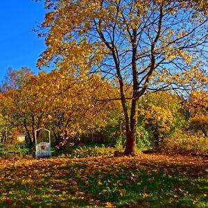 Ett stort träd med gula löv, det ligger löv på marken. Himlen är blå och till vänster finns en liten vit port med en liten röd postlåda. Det är en solig höstdag.