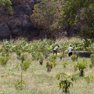 Fruktodling på Sri Lanka