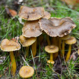 Suppilovahveroita Nuuksion metsässä