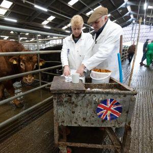 Två män inspekterar boskap inför en auktion i Newark-on-Trent,