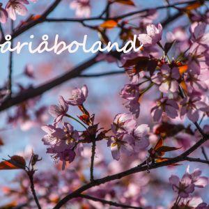 """Körsbärsträd i blom och texten """"#våriåboland"""""""