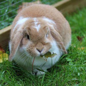 En kanin som äter gräs.