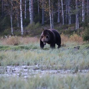 Vanha karhu liikkuu suon reunassa.