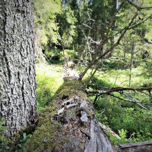 Vanhaa metsää, kuollut puu