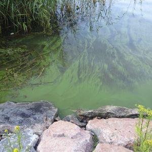 blågrönalger, cyanobakterier