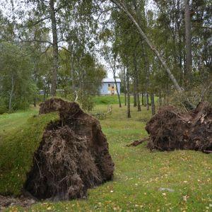 Omkullblåsta träd i Gamla Vasa.