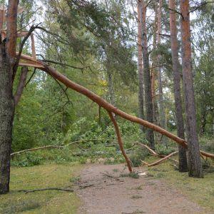 Omkullblåsta träd i Vasa.