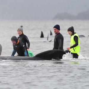 Räddningsarbetare försöker febrilt rädda hundratals strandade grindvalar i Tasmanien.