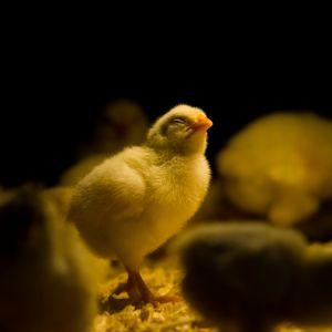 En gul kyckling står och blundar på halm, runt om står andra kycklingar som är oskarpa i bild. Bakgrunden är svart.