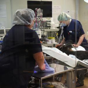 Kouvolan eläinsairaalan leikkaussalissa lääkärit suorittamassa koiran kohdunpoistoa.