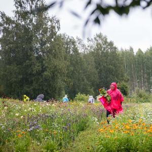 Kukkapelto, jossa ihmiset keräävät kukkia sadetakkeihin pukeutuneina.