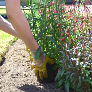 En bild på två händer som placerar en blomma i en rabatt. Runtomkring finns mylla och gräs och i mitten en rad av blommor. Trädgårdshandskarna är av plast och gula.