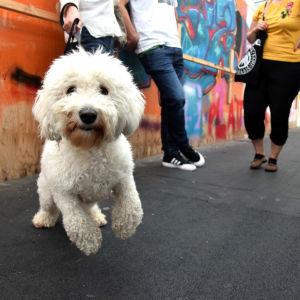 En vit hund på en bro. Hundne hoppar mot kameran. Graffiti i bakgrunden.