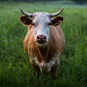 En ko på en äng fotograferad rakt framifrån.