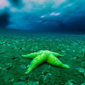 Gul sjöstjärna i vattnet i Antarktis.