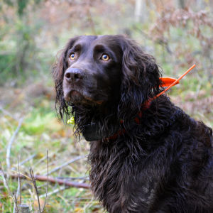 Choko är chokladbrun och lurvig. tittar uppåt med sina stora gulbruna ögon.