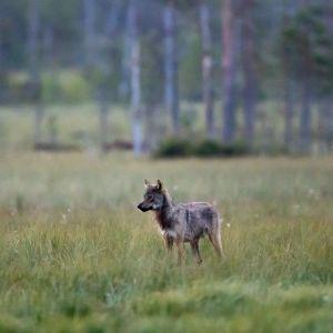 En varg är på äng med gles skog i bakgrunden.