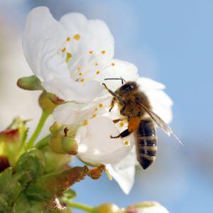 Ett honungsbi samlar pollen från en körsbärsblomma