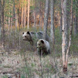 Björnfamilj i skogen