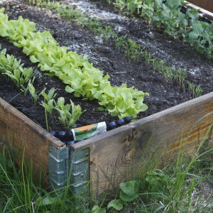 Salladsodling i odlingslåda.