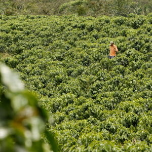 Kaffeplantage i Colombia