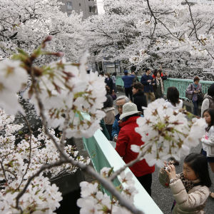Japanilaiset kuvaavat ja ihailevat kirsikankukkia puistossa.
