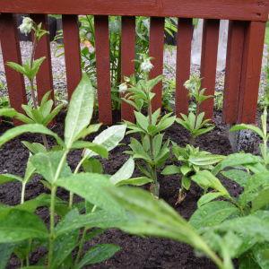 Små plantor krollilja med koppar i rabatt.