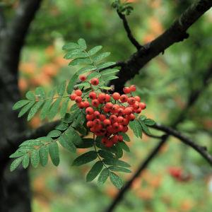 Mognande rönnbär i augusti.