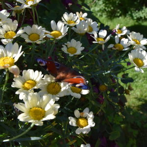 Ljusgula margueriter med fjäril