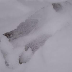 Hjortspår i snö