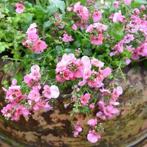Rosa Diana i full blom