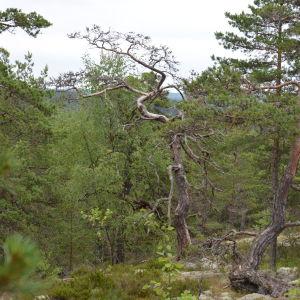 Knotiga tallar på Senatsberget i Dalsbruk.