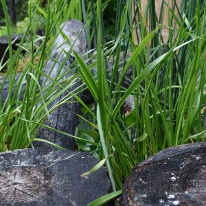 Svartbrända förkolnade stubbar och stockar bland grön blomvass