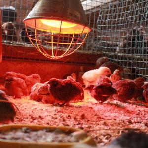 Tre veckor gamla vaktelkycklingar. Om ytterligare tre veckor värper de sina första ägg.