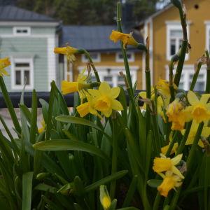 Påskliljor vid rådhustorget i Borgå