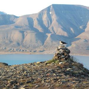 En fågel på Svalbard