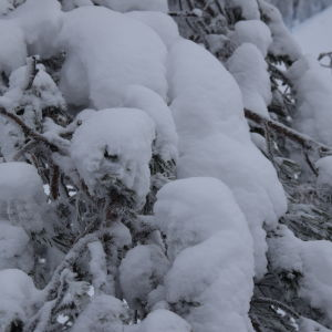 snötunga träd i Vuokatti